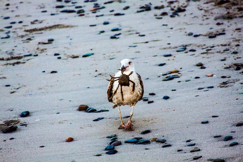 Gull in Hull (Massachusetts)