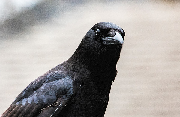 """The  Raven """"Look"""""""