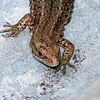 Common Lizard at Decoy Heath Facing very Close