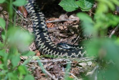 Adder Snake at the Herbert Plantation 4