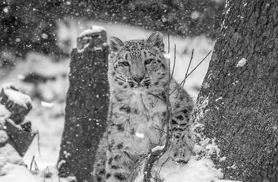Snow Leopard Cub in Snow