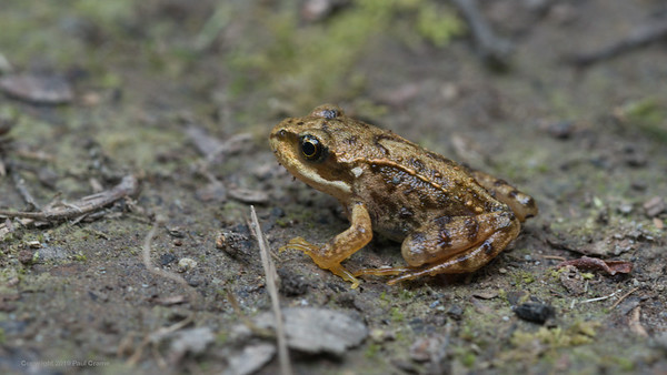 Froglet at Rhayader only 30mm long
