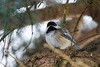 Black Cap Chickadee