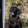 Flatcoated Retriever called  Bee aboard the narrowboat Grey Hare