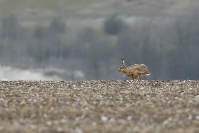 Hare near the Ridgeway overlooking Harwell 2