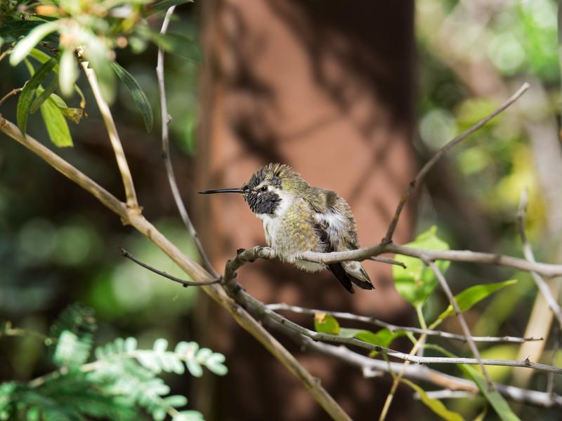 Hummingbird (II)