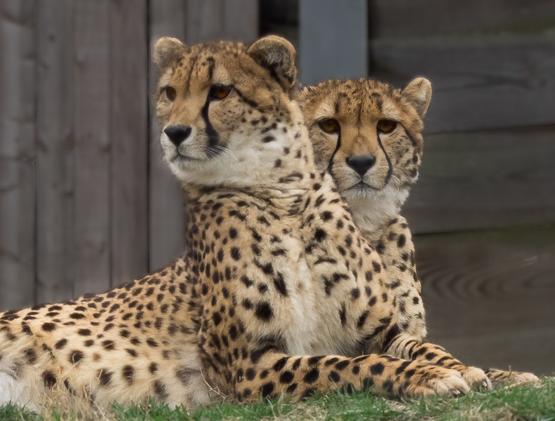 Cheetah in Duplicate