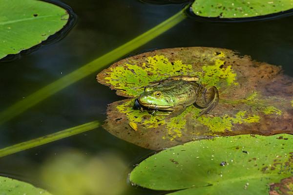 Frog on Pad