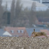 Hare near the Ridgeway overlooking Harwell 3