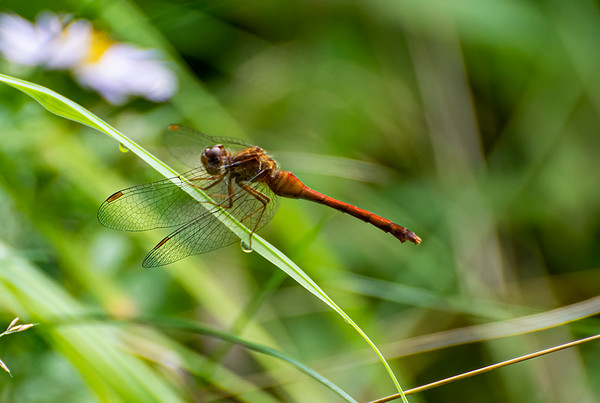 Dragon fly (a brown one)
