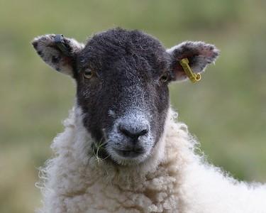 A Lamb on Walbury Hill