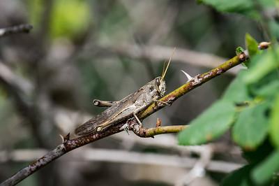 Grasshopper Flyby