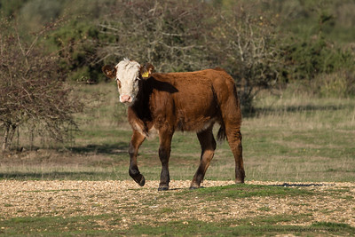 A Roaming Calf on Greenham Common