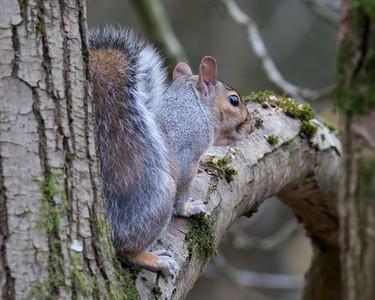 Grey Squirrel at Jonathan Hill Newbury