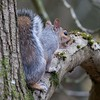 Grey Squirrel at Jonathan Hill Newbury