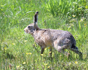 A bedraggled Hare at Otmoor 26th May 2017