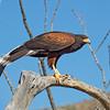 Harris's hawk (I)