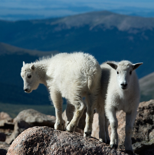 Baby mountain goats, Colorado