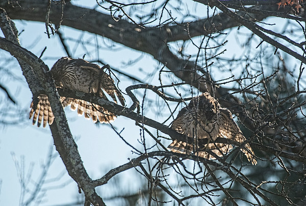 A pair of Coopers Hawks stretching their wings