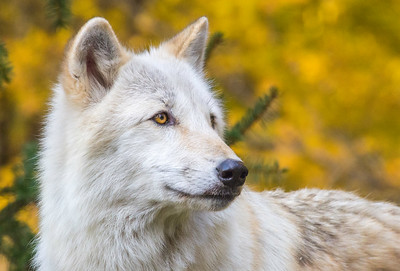 Wolf Portrait on Gold Foliage