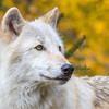 Wolf Portrait on Gold Foliage