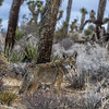 Healthy Coyote Joshua Tree