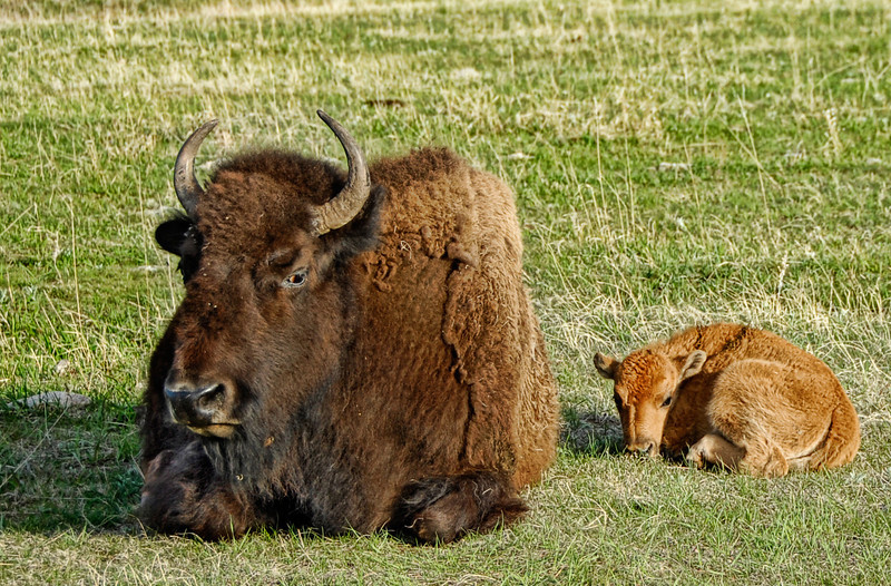 """Mom's Grumpy Today"" - Custer State Park, South Dakota"