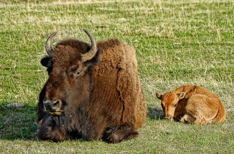 """Mom's Grumpy Today"" - Custer State Park, South Dakota"