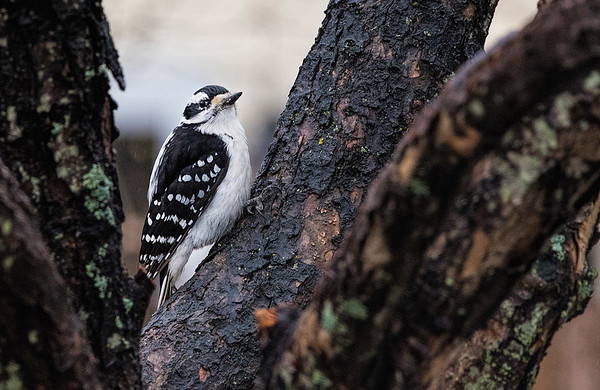 Female Downy Woodpecker in a Crab Apple tree