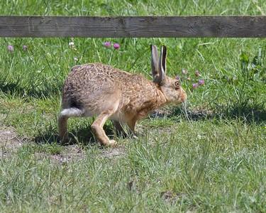 Hare at Otmoor 26th May 2017