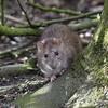 Ratty Rat at Hosehill Lake