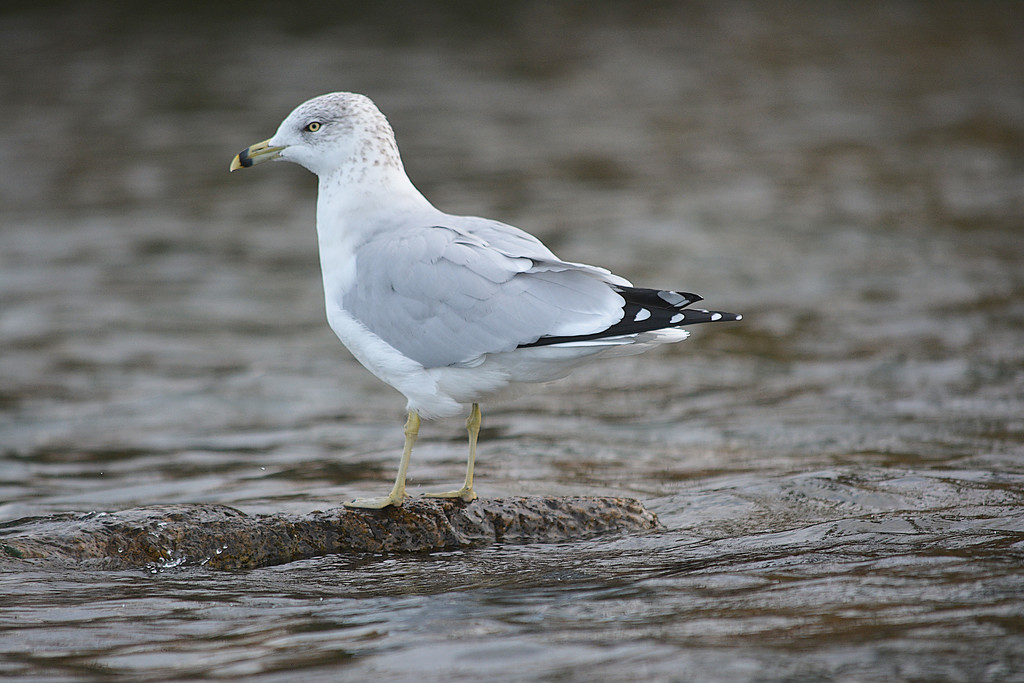 Echo Lake Gull