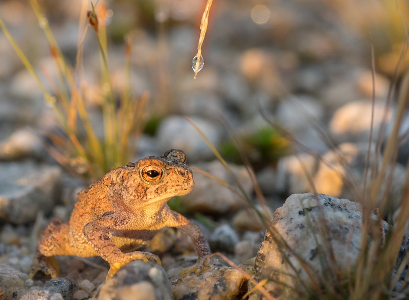 Golden Toad at Golden Hour