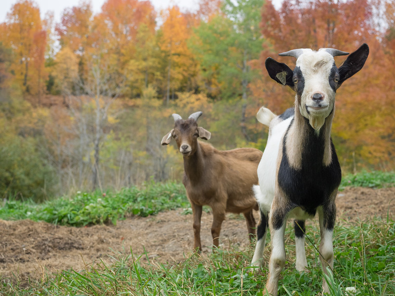 Goats in Fall