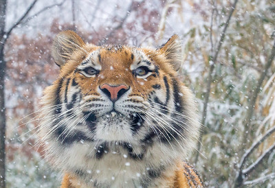 Peaceful Snowy Tiger