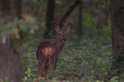 Roe Deer in Bowdown Woods 1a