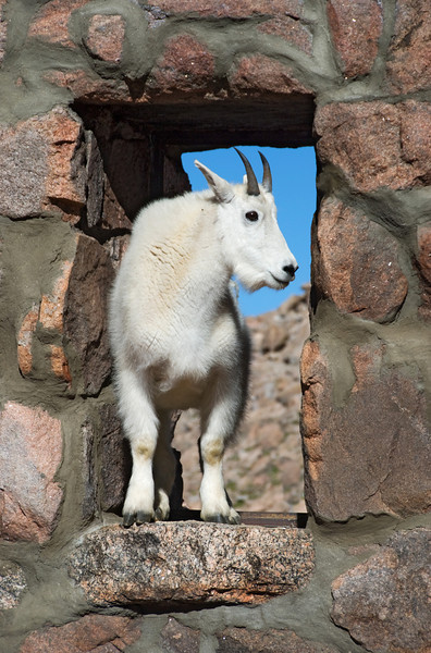 Mountain goat, Mt. Evans summit, Colorado