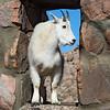Mountain goat, Mt. Evans summit, Colorado