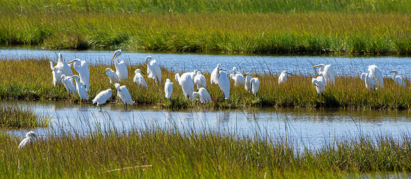 A congregation of Egrets.