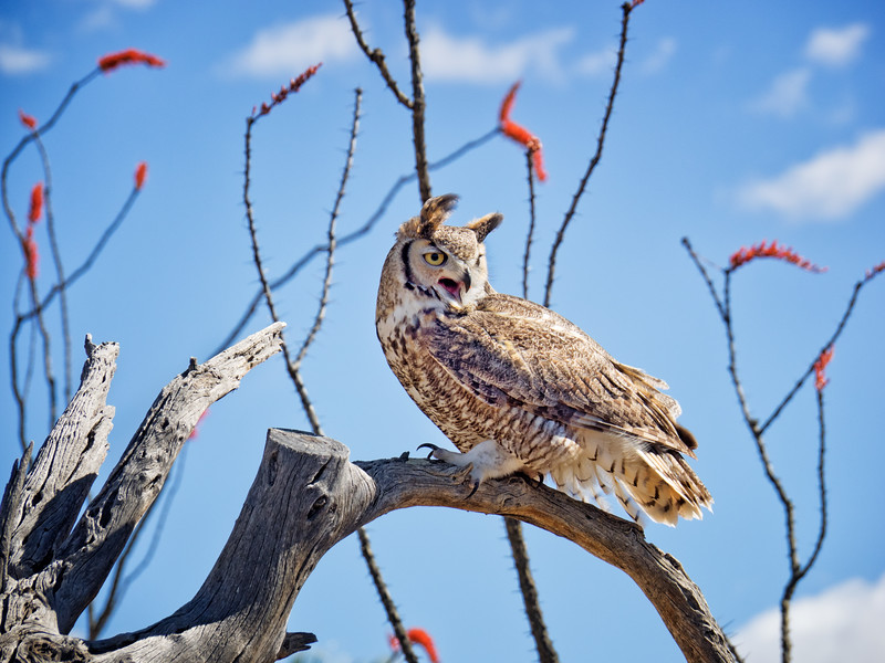 Great horned owl with ocotillo