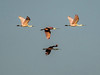 Spoonbills in FLight_DSC3603_filtered