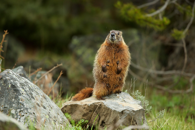 A female Red Bellied Marmot - Sheepeater Cliffs, Yellowstone National Park, WY