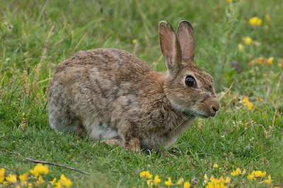 Wild Bunny Rabbit - Greenham Common - 17th June 2018