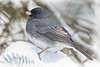 Junco - Male _DSC0948