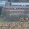 Hare near the Ridgeway overlooking Harwell
