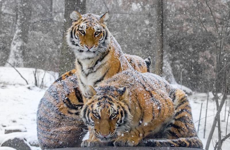 Three Winter Tigers