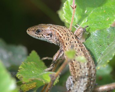 A Common Lizard at Decoy Heath
