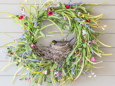 robin guarding her eggs, in a nest she made on a wreath hanging on our porch