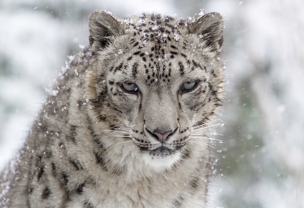Snow Leopard Portrait in Snow