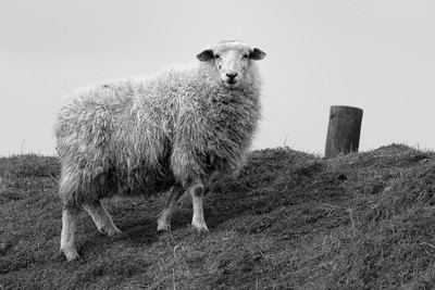 The Singular Sheep on Walbury Hill